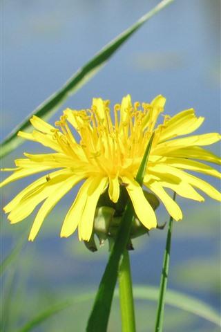 iPhone Wallpaper Yellow dandelion flower, pond