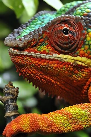 iPhone Wallpaper Chameleon, head, eye, colorful