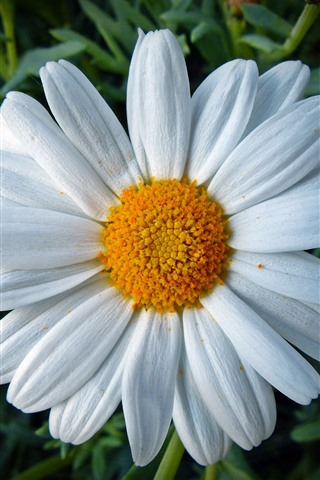 iPhone Wallpaper Daisy, white petals