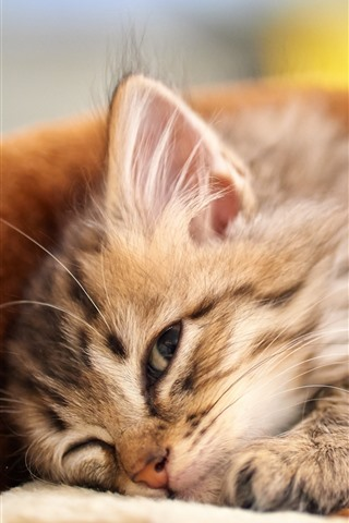 iPhone Wallpaper Fluffy kitten, pet