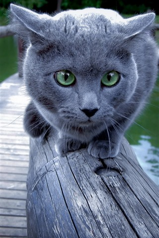 iPhone Wallpaper Gray cat, green eyes, face, fence, lake, park