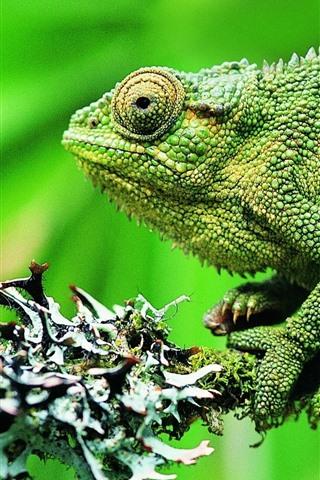 iPhone Wallpaper Green chameleon, green background