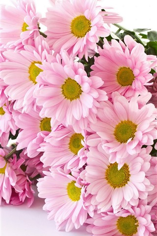 iPhone Wallpaper Pink chrysanthemum, bouquet, white background