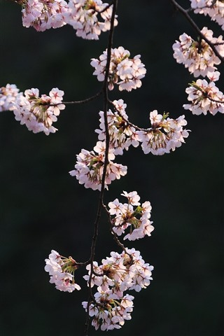 iPhone Wallpaper Pink sakura, twigs, flowers, spring