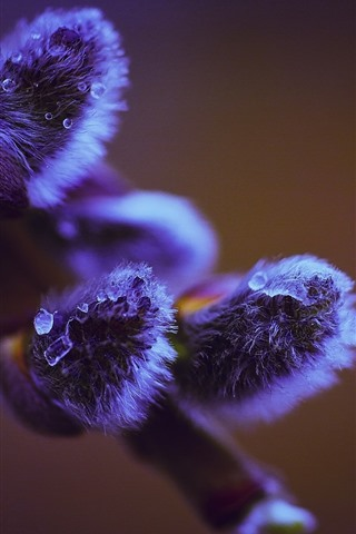 iPhone Обои Фиолетовые бутоны, веточки, весна, капли воды