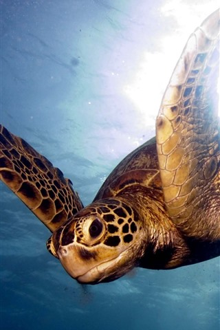 iPhone Wallpaper Sea, underwater, turtle, swimming, glare background