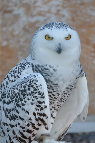 Snowy Owl Bird 1242x2688 Iphone 11 Pro Xs Max Wallpaper Background Picture Image