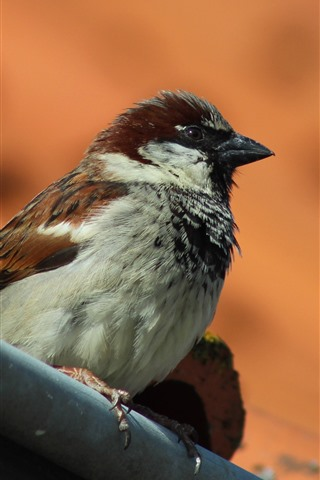 iPhone Wallpaper Sparrow, bird, stay