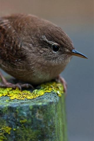 iPhone Wallpaper Sparrow, stump, moss