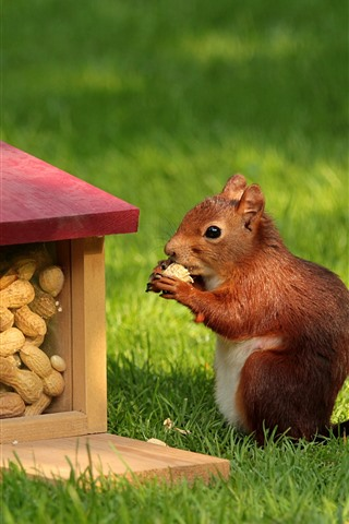 iPhone Wallpaper Squirrel, food, peanut, grass