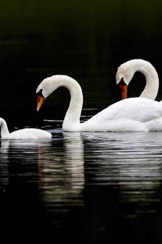 iPhone Wallpaper Three swans, lake, black background