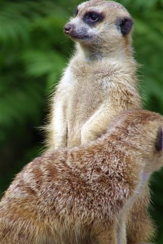 iPhone Wallpaper Two meerkats