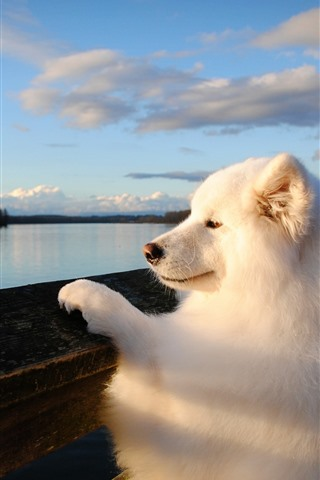 iPhone Wallpaper White dog look the river
