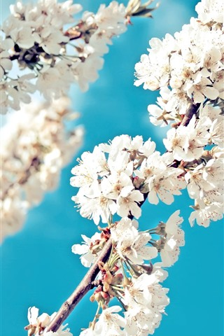 iPhone Wallpaper White sakura, flowers bloom, twigs, blue sky, spring