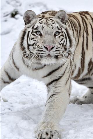 iPhone Wallpaper White tiger, snow, look, wildlife