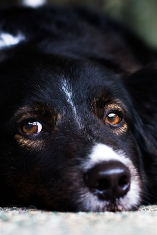 iPhone Wallpaper Black dog, sleep, look, face, eyes