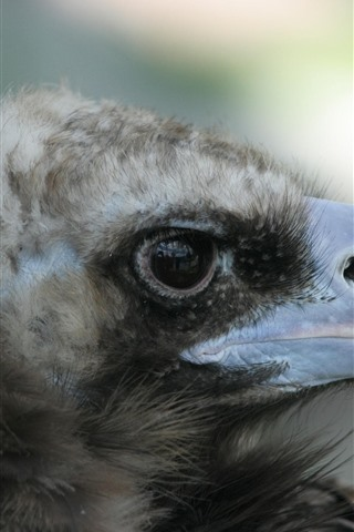 iPhone Wallpaper Eagle, beak, eye