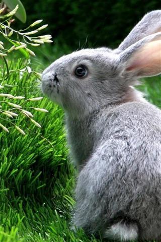 iPhone Wallpaper Gray rabbit, look, grass