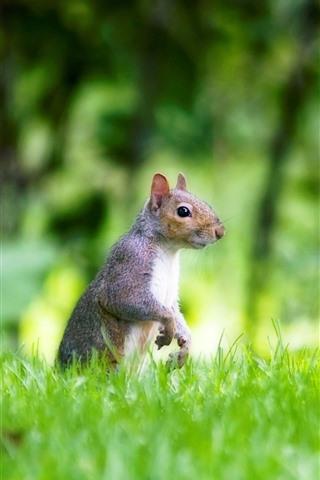 iPhone Wallpaper Green grass, squirrel, look