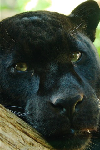 iPhone Wallpaper Panther, face, look, eyes, black leopard