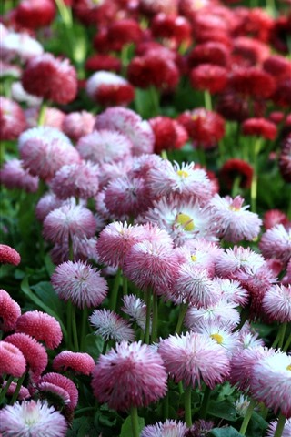 iPhone Wallpaper Pink and red daisies, many flowers