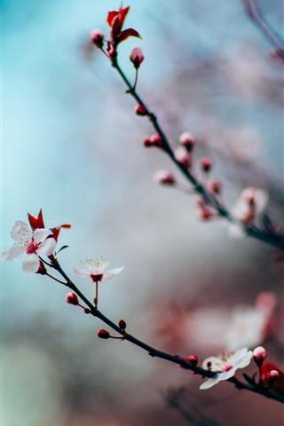 iPhone Wallpaper Pink sakura bloom, twigs, spring