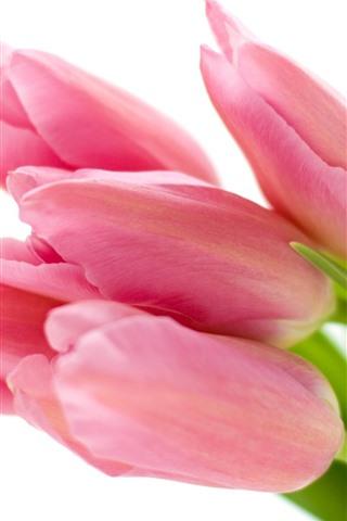 iPhone Обои Розовые тюльпаны, цветочные бутоны, белый фон