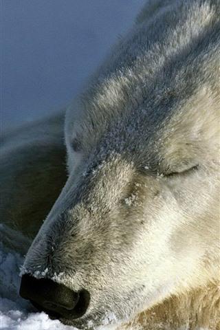 iPhone Wallpaper Polar bear in sleep