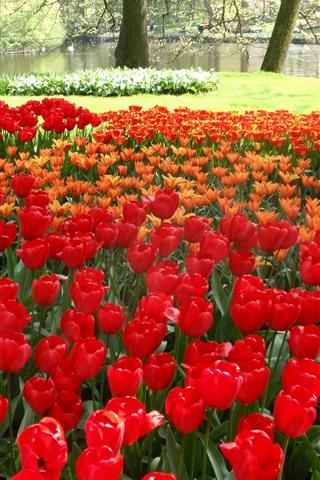 iPhone Hintergrundbilder Rote und orange Tulpen, Park, Bäume, grüne Wiese