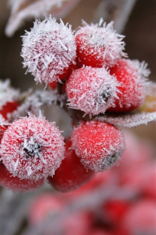 iPhone Wallpaper Red berries, snow, frost, winter