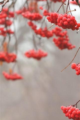 iPhone Wallpaper Red berries, twigs, dew