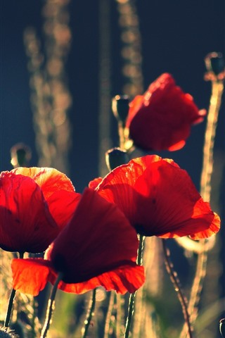 iPhone Wallpaper Red poppies, flowers, summer