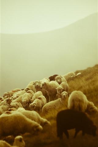 iPhone Wallpaper Sheep, grazing, boy, slope, morning