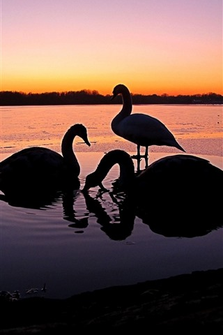 iPhone Wallpaper Some swans, sunset, river, silhouette