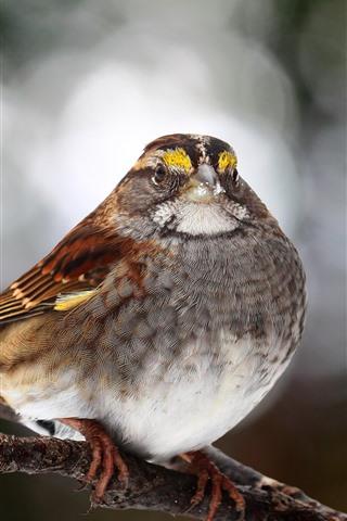 iPhone Wallpaper Sparrow, bird, tree branch