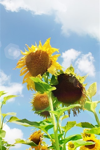 iPhone Wallpaper Sunflowers, sky, glare, white clouds, summer