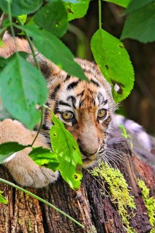 iPhone Wallpaper Tiger cub, look, green leaves, twigs
