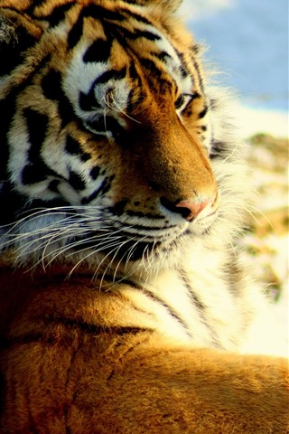 iPhone Wallpaper Tiger look back, rest, snow, wildlife
