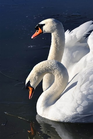 iPhone Wallpaper Two white swans, lake, wings