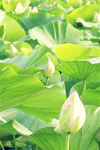 iPhone Обои Белый цветок лотоса, зеленые листья