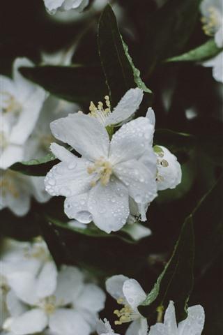 iPhone Wallpaper White sakura, flowers, water droplets