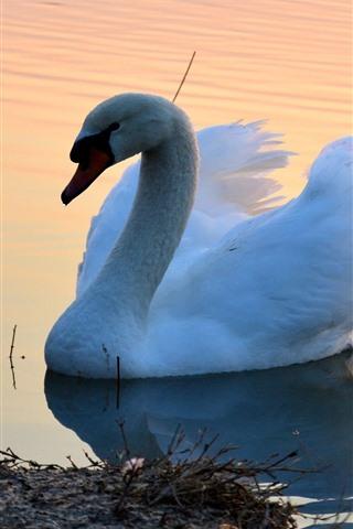 iPhone Wallpaper White swan, pond, morning