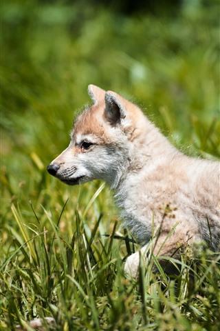 iPhone Wallpaper Wolf cub walk in grass