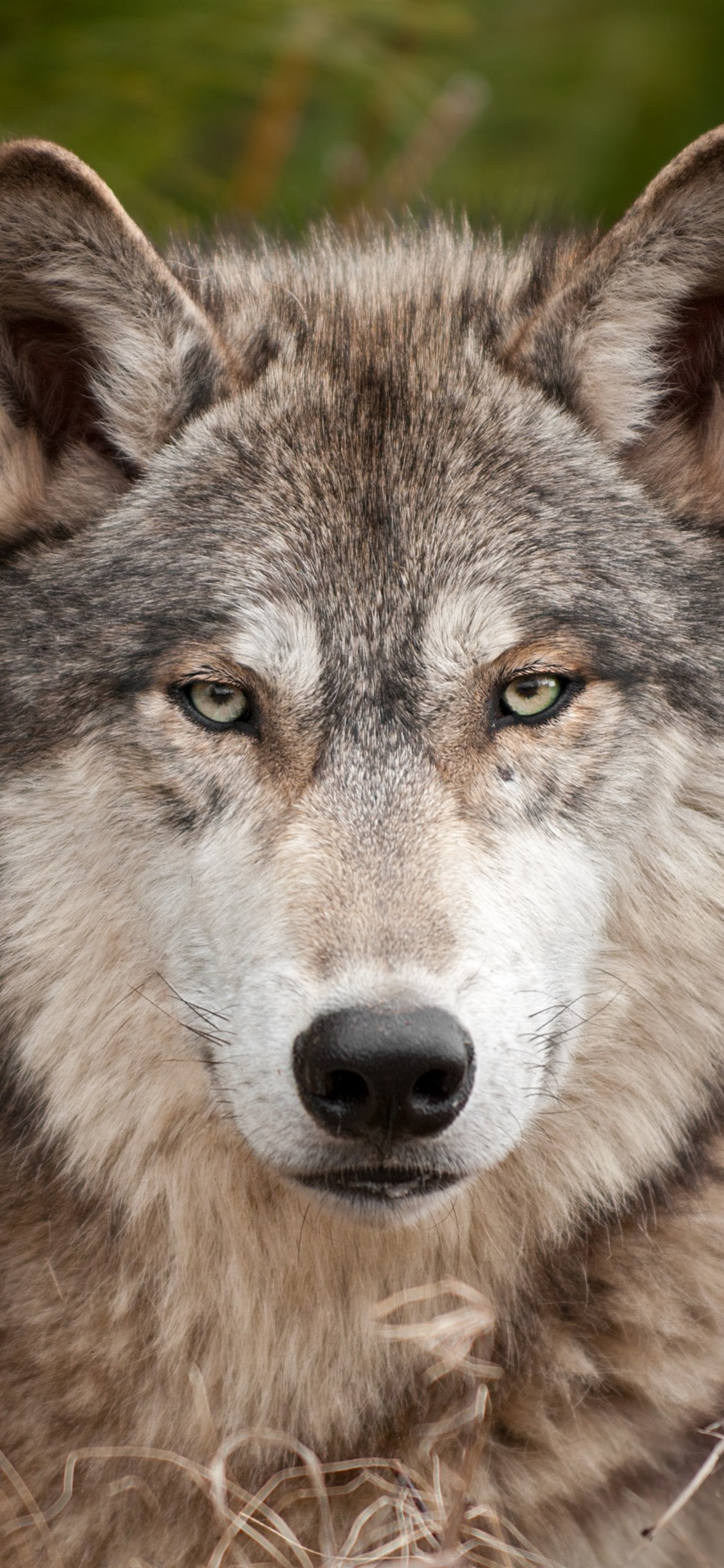 Wallpaper Wolf, front view, look, wildlife 3840x2160 UHD ...