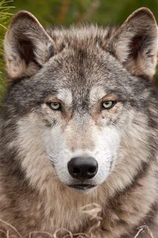 iPhone Wallpaper Wolf, front view, look, wildlife