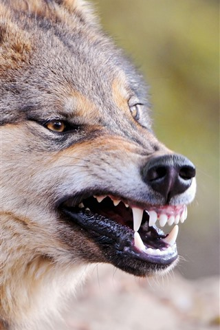iPhone Wallpaper Wolf, teeth, mouth, face, wildlife