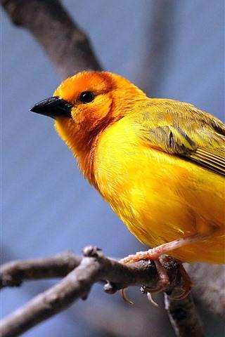 iPhone Wallpaper Yellow feather bird, tit, tree branch