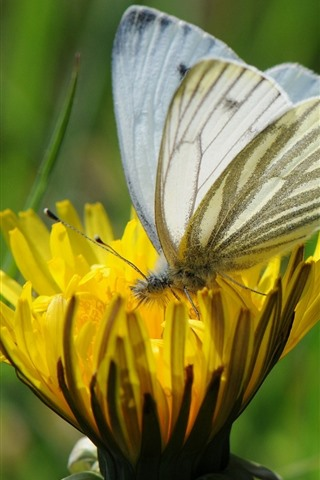 iPhone Wallpaper Yellow flower, white butterfly, wings