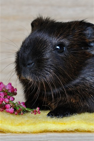iPhone Wallpaper Black guinea pig, pink flowers