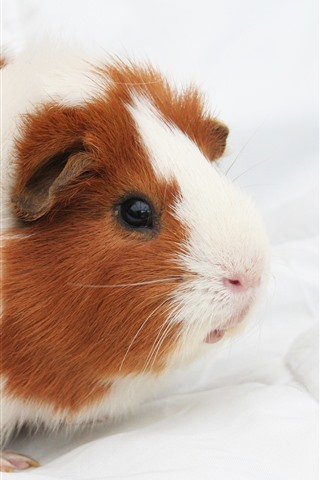 iPhone Wallpaper Cute guinea pig, pet, fluffy